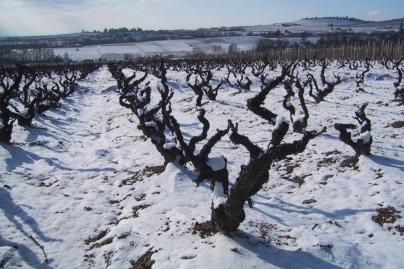 Les vignes sous la neige
